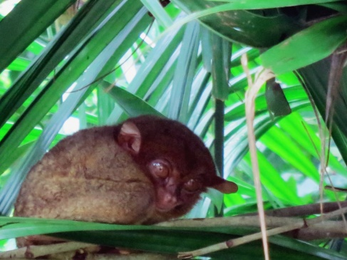 The tarsier - one of the smallest primates in the world