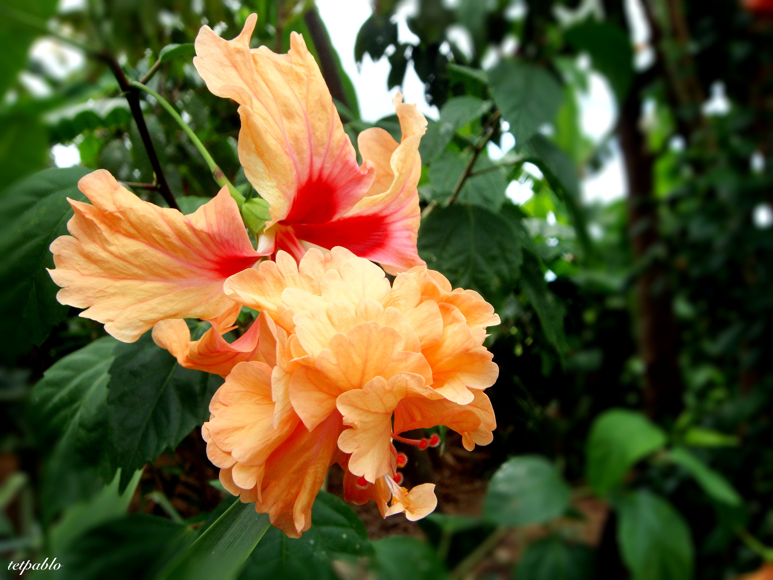 Double bloom gumamela hibiscus litterthoughts double bloom gumamela hibiscus izmirmasajfo Image collections